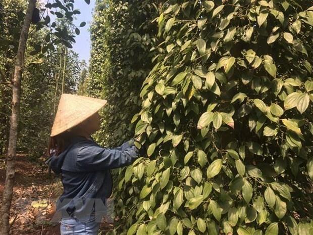 Hướng đi mới cho hồ tiêu Việt Nam